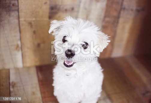 615107296 istock photo White Maltese dog 1251231176