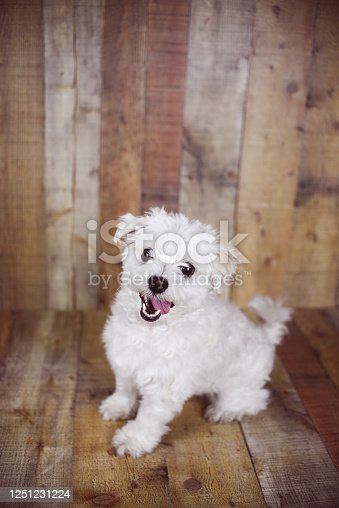 615107296 istock photo White Maltese dog 1251231224