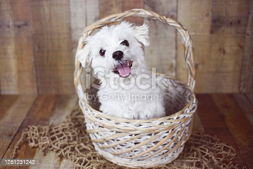 615107296 istock photo White Maltese dog 1251231242