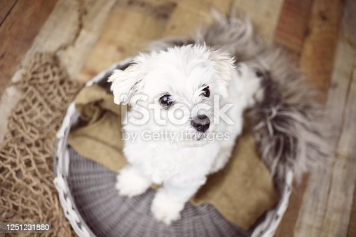 615107296 istock photo White Maltese dog 1251231880