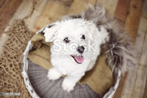 615107296 istock photo White Maltese dog 1251231943