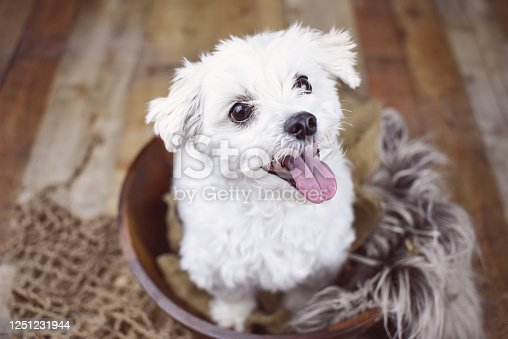 615107296 istock photo White Maltese dog 1251231944