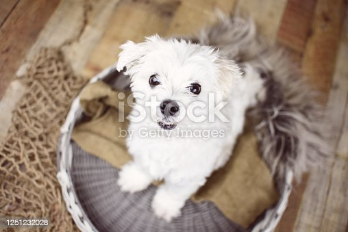 615107296 istock photo White Maltese dog 1251232028