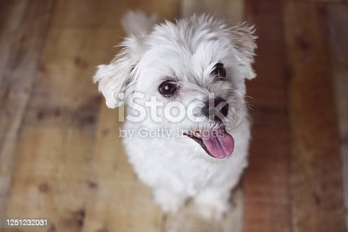 615107296 istock photo White Maltese dog 1251232031