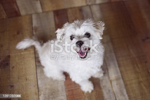 615107296 istock photo White Maltese dog 1251232066
