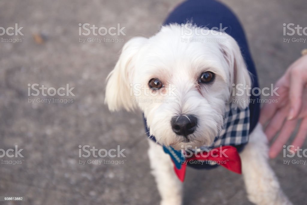 White Maltese dogs at the park stock photo