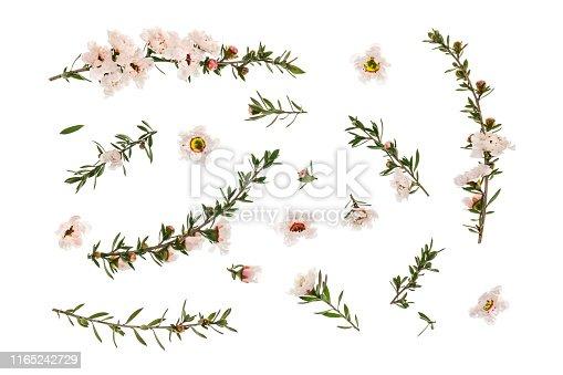 closeup of white manuka tree flowers and twigs arranged on white background