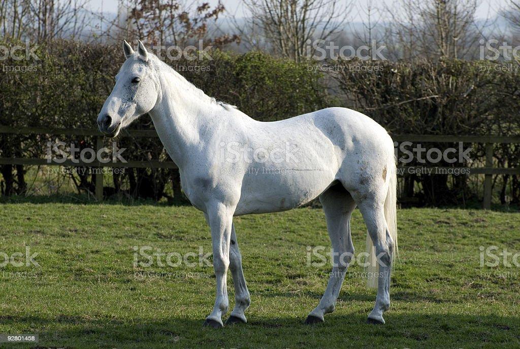 White mare horse royalty-free stock photo