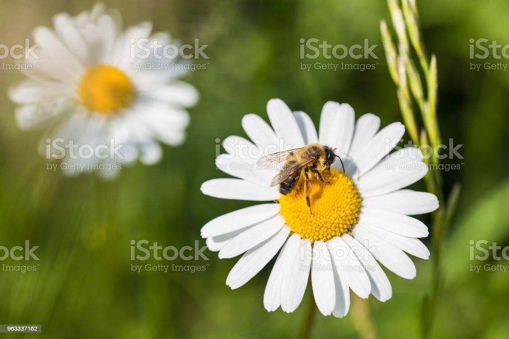 White marguerite and European honey bee. Leucanthemum vulgare. Apis mellifera stock photo