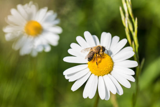 white marguerite and european honey bee. leucanthemum vulgare. apis mellifera - ape foto e immagini stock