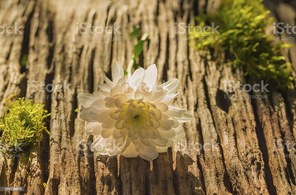 white marguerite flowers on olden wood stock photo