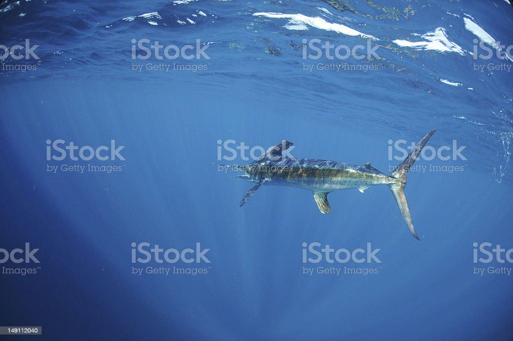 White marlin swimming in ocean stock photo