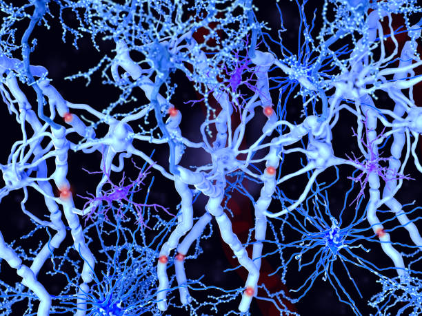 White matter in the brain and the spinal cord: neurons with myelinated axons, oligodendrocytes forming the myelin sheaths, fibrous astrocytes and microglia cells stock photo