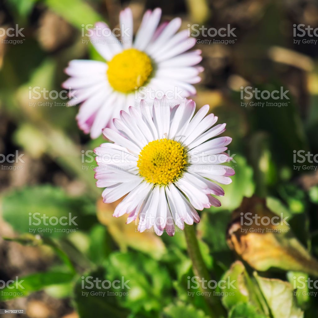 White meadow daisies with pink petals around the edges (Bellis perennis) stock photo
