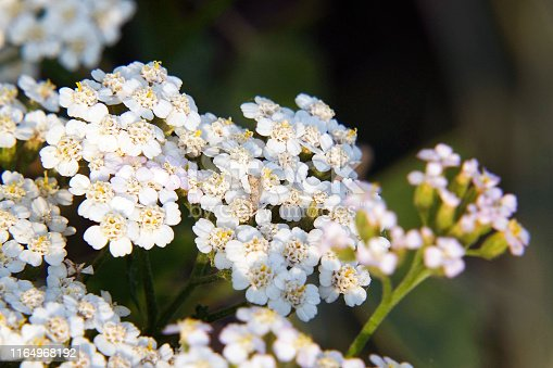 White meadow flower yarrow on natural background. Close up