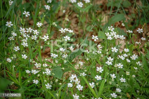 997750962 istock photo white meadow flowers. photo of small white flowers 1141299623