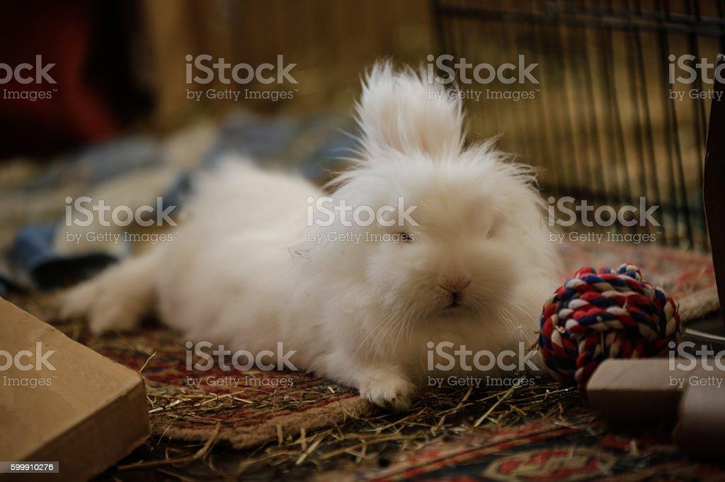 White miniature lion head rabbit with multi-coloured ball stock photo