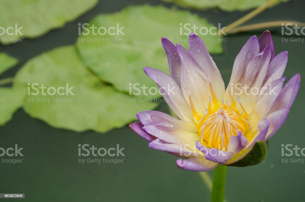white mix purple Lotus Flower float in the bloom - Foto stock royalty-free di Aspetto naturale
