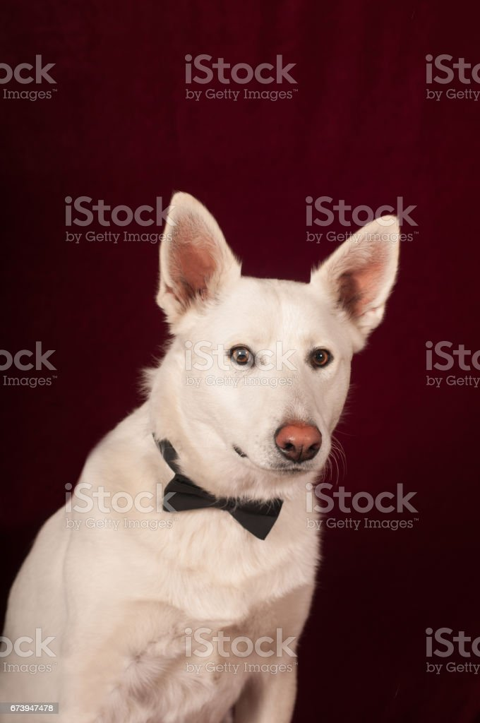 White mixed breed dog at studio royalty-free stock photo