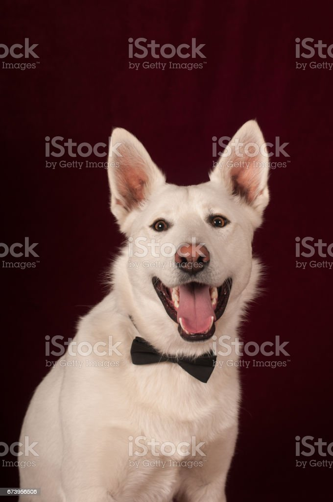 White mixed breed dog at studio royalty-free stock photo