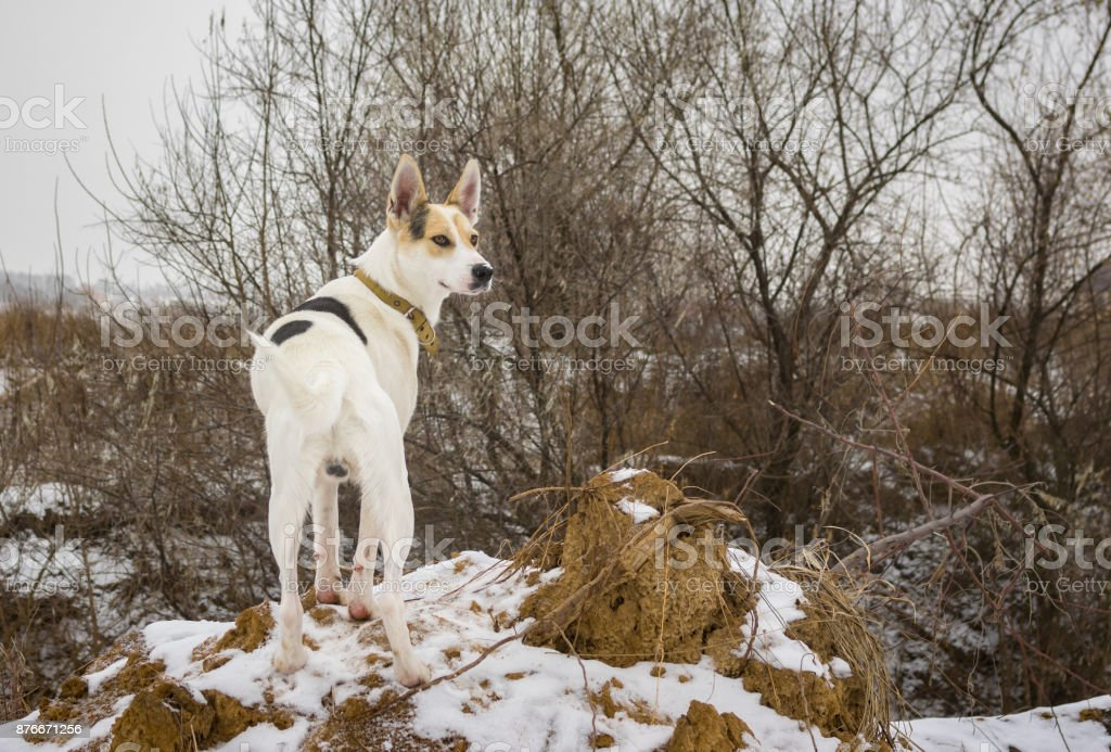 White mixed breed dog watching nearest to his home territory stock photo