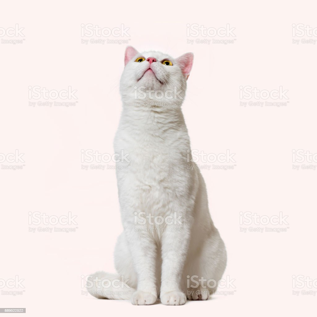 White mixed-breed cat looking up (2 years old), pink background stock photo