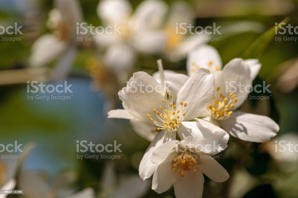 White mock orange blossom flowers, Philadelphus lewisii foto stock royalty-free