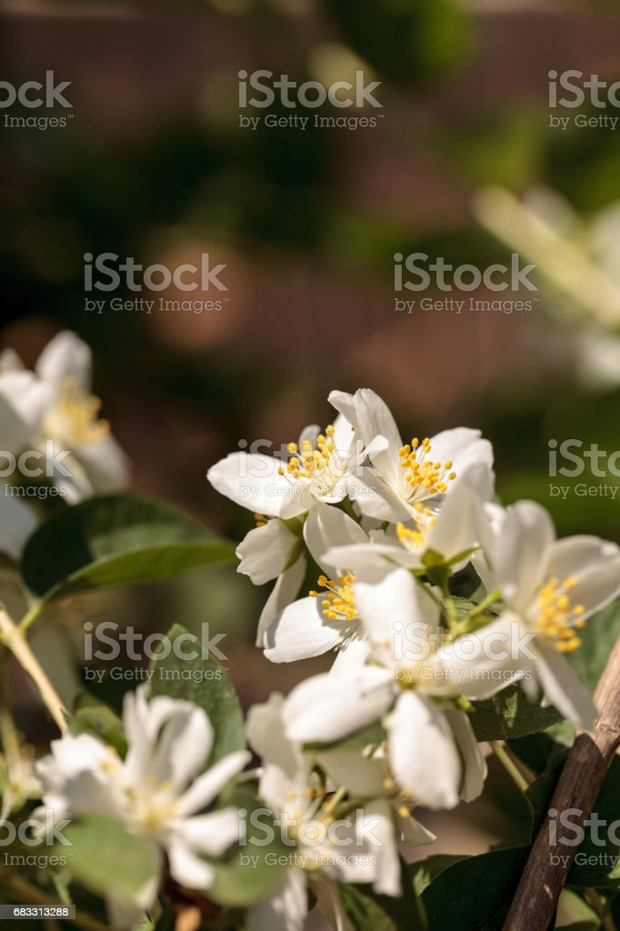 Vita mock orange blossom blommor, Filadelfos lewisii royaltyfri bildbanksbilder