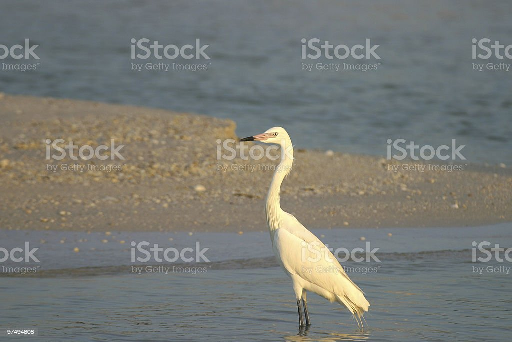 White Morph of the Reddish Egret royalty-free stock photo