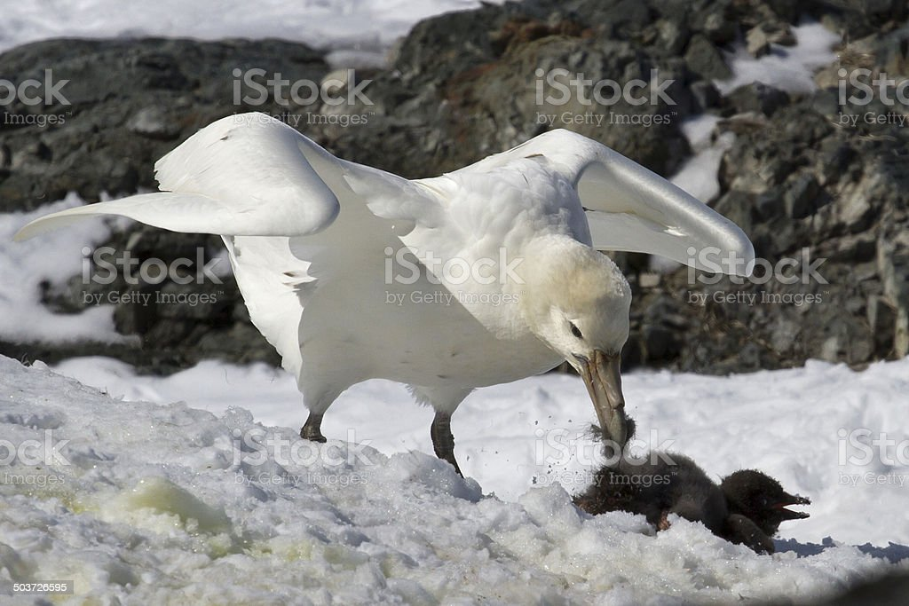 white morph of the southern giant petrel who eats stock photo