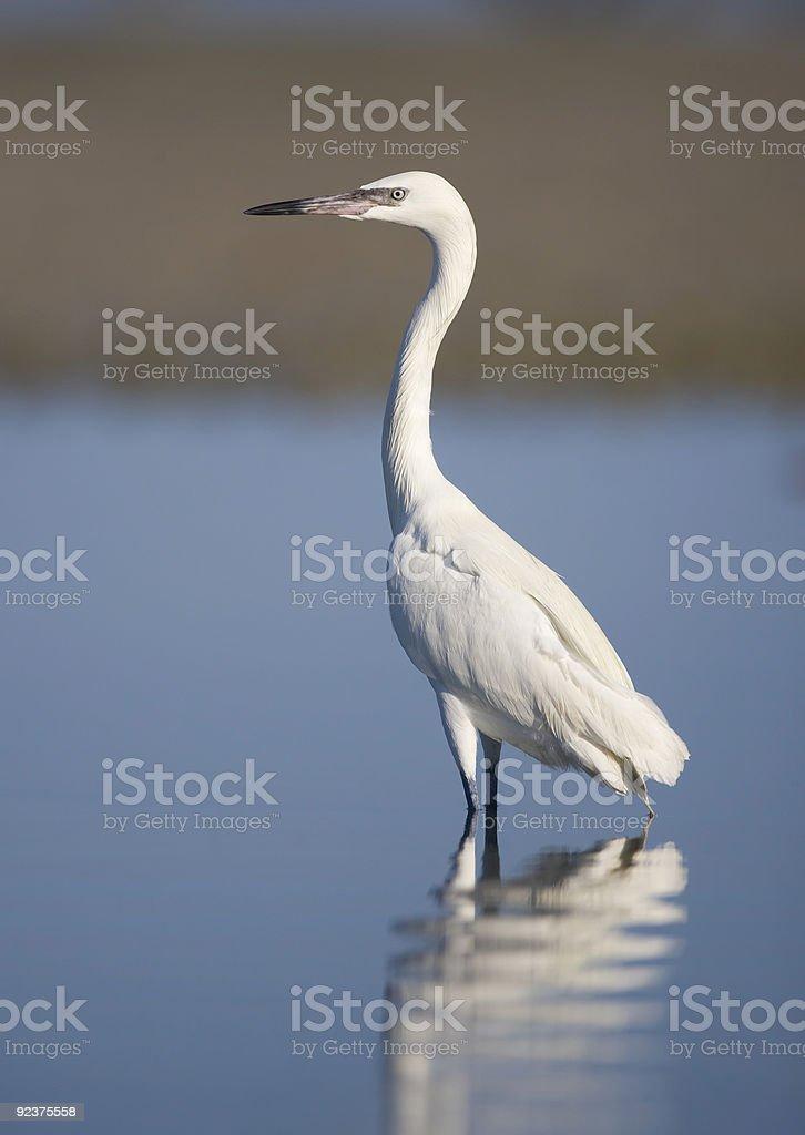 White Morph Reddish Egret standing in the water royalty-free stock photo