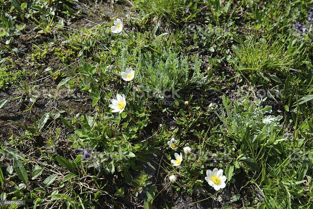 white mountain aven (Dryas octopetala) Silberwurz stock photo