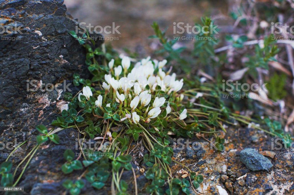 White mountain clover stock photo