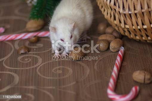 1206982378 istock photo White mouse eats New Year's lollipop. Sugar stick and 1192445059