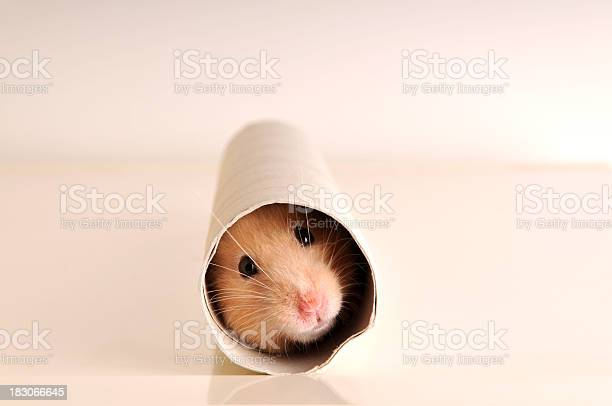 White mouse hiding inside a paper roll picture id183066645?b=1&k=6&m=183066645&s=612x612&h=c8sqh8fesrljdtdhw8xw9n1bkuitmbclddbtgctxqri=