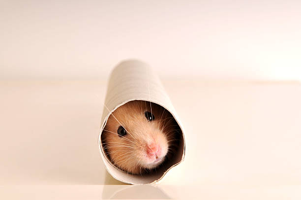 A white mouse hiding inside a paper roll stock photo