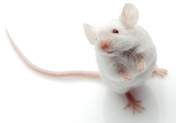 royalty free white mouse pictures images and stock photos istock
