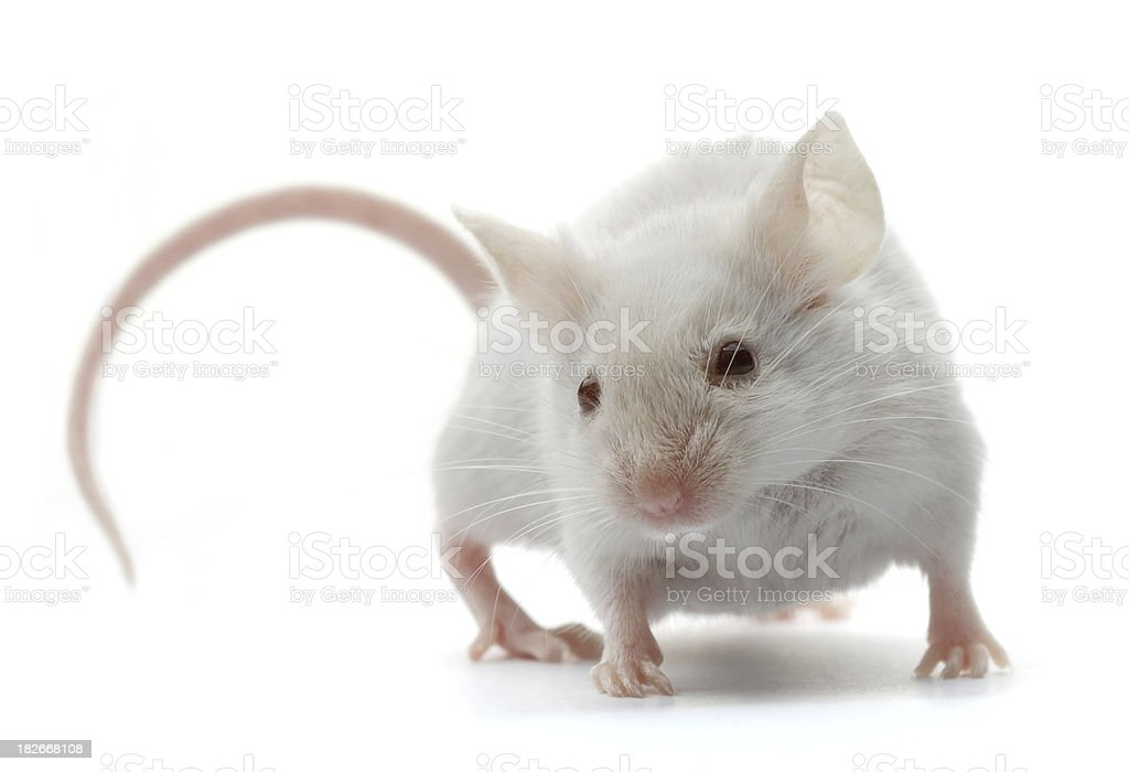 white mouse stock photo