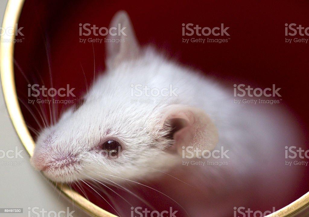 White mouse royalty free stockfoto