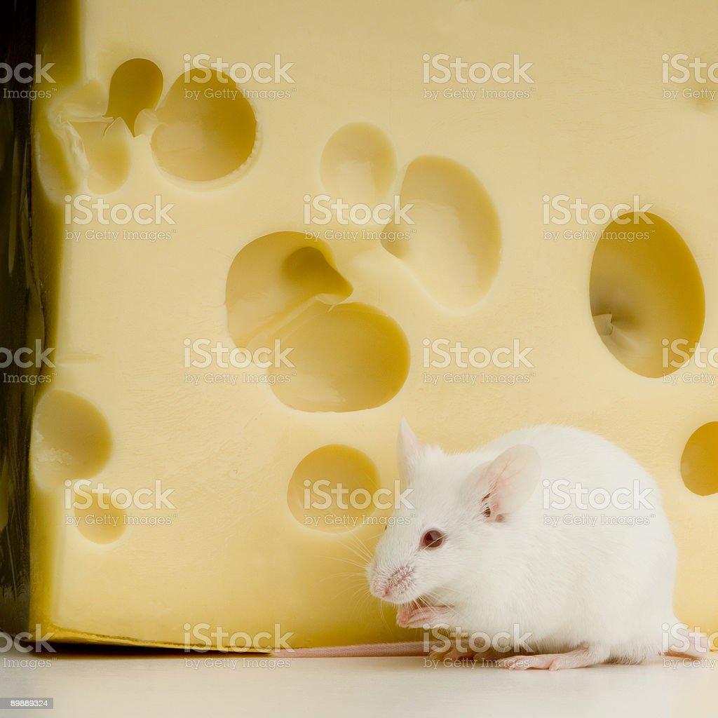 White Mouse royalty-free stock photo