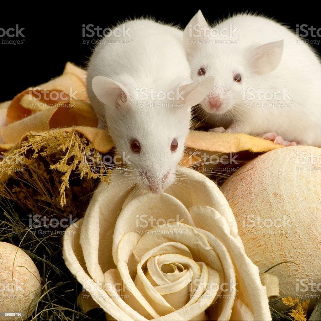 Blanco ratón foto de stock libre de derechos