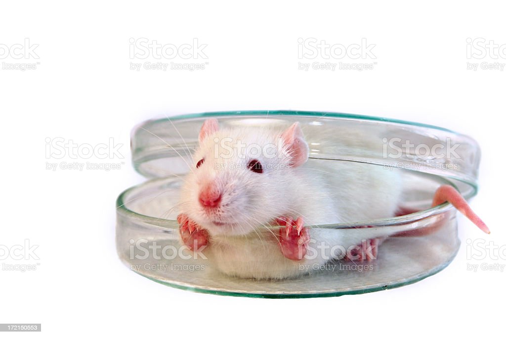 White mouse tries to get out of glass container stock photo