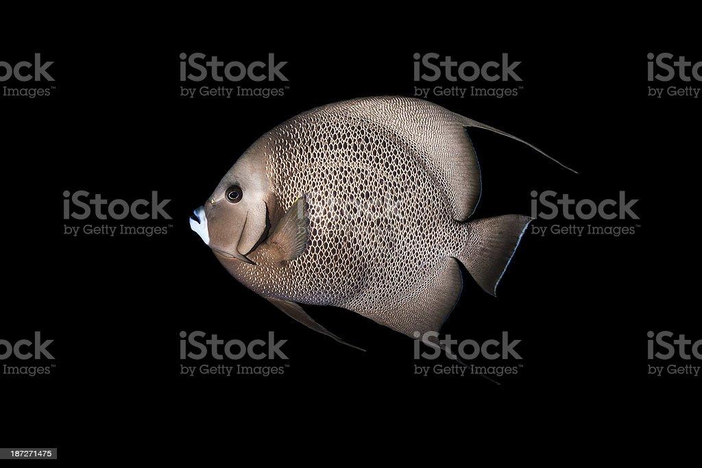 White mouth fish royalty-free stock photo