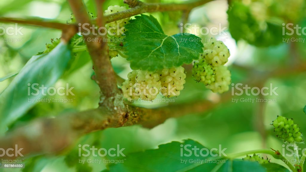 Mulberry branco fruta na árvore - foto de acervo