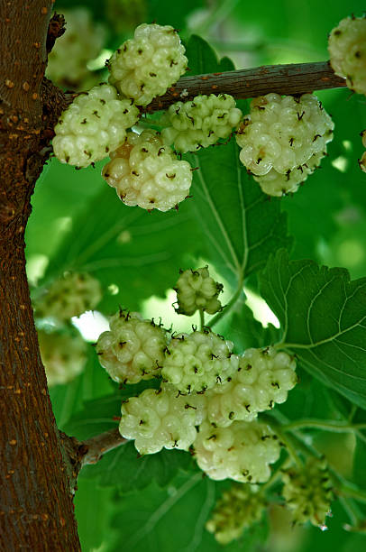 branco mulberry na árvore - amoreiras imagens e fotografias de stock