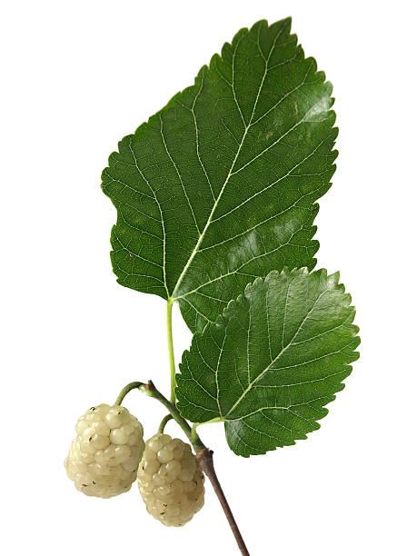 branco mulberry (morus alba) - amoreiras imagens e fotografias de stock