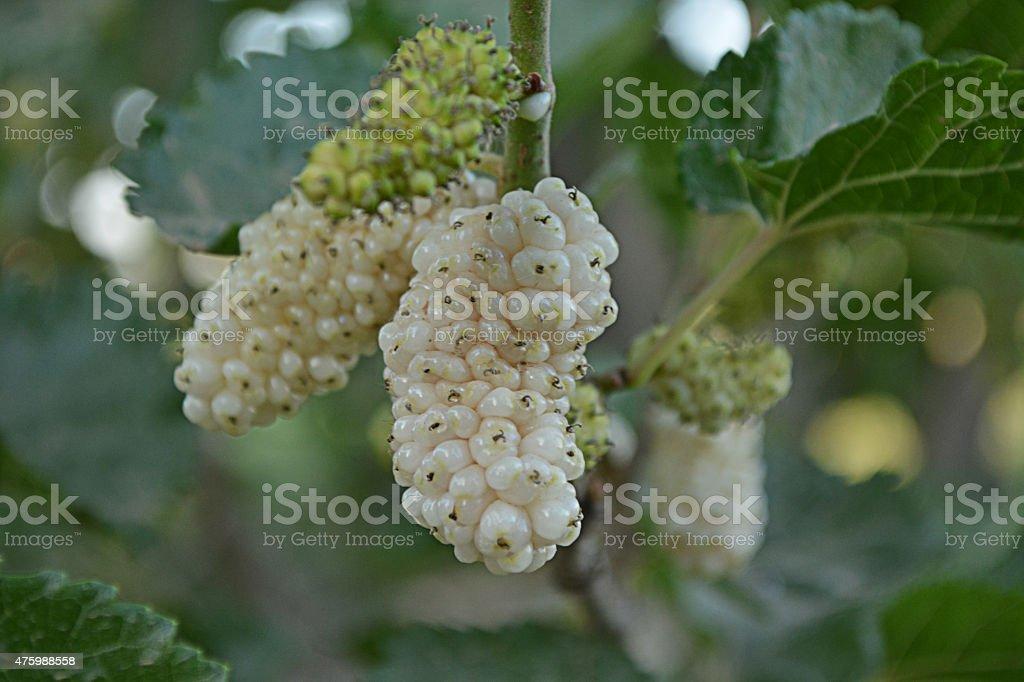 Branco Mulberry - fotografia de stock