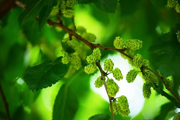branco mulberryes na árvore - amoreiras imagens e fotografias de stock