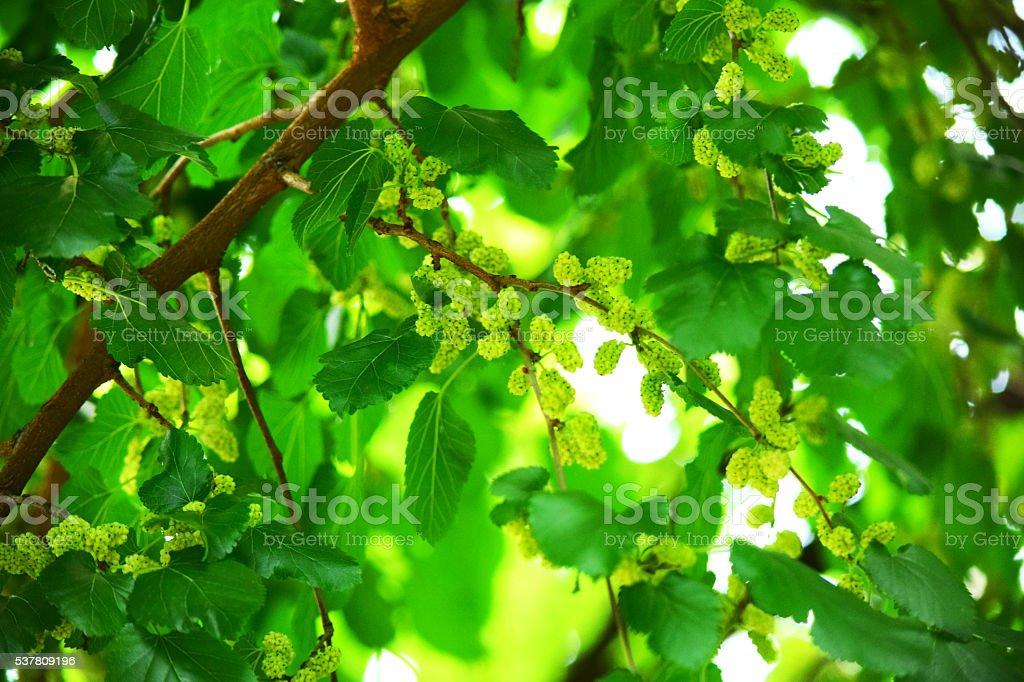 Branco mulberryes na árvore - fotografia de stock