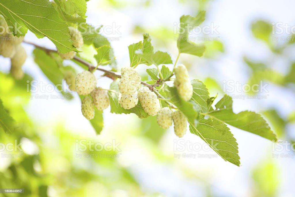 Branco mulberry's - foto de acervo